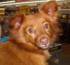 Libby is an adoptable Pomeranian Dog in Sedalia, MO. We believe Libby is Pom/Sheltie mix.  She is 2 yrs, old an appears to be housebroken.  She used a doggie door at her temp home while waiting for us...