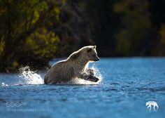 Fun in the River - Pinned by Mak Khalaf Captured this image of the bear chasing after a salmon during a past trip to central British Columbia Canada. Animals  by PatRoque
