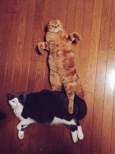 武将感あふれるポーズで寝転がる猫wwwwwwww