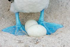 blue footed booby egg