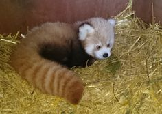 The new baby red panda at Flamingo Land Resort, UK, was born on June 4, 2015.