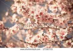 Pink Flowers Blooming Peach Tree at Spring. Horizontal filtered shot - stock photo