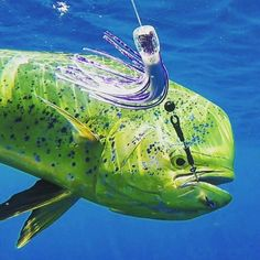 Looking to stack some Mahi on the deck? View our entire line of Dolphin / Mahi lures and tackle products below. Fishing Tackle, Fishing Lures, Fishing Supplies, Mahi Mahi, Saltwater Fishing, Deep Sea, Dolphins, Troll, Deck