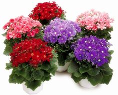 100 PCS Pericallis Hybrida Aster Flower Bonsai Flower Seeds Rainbow Chrysanthemum Seeds Perennial Flowers Home Garden Plant
