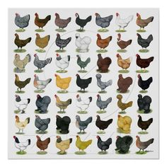 Chicken Breed Poster: