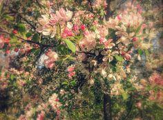 Flowering Hawthorne, Hyde Park, London