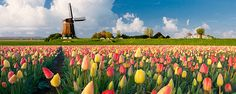Holland, lots of Tulips, Windmills and good Cheese!