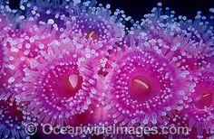 Colony of Jewel Anemones