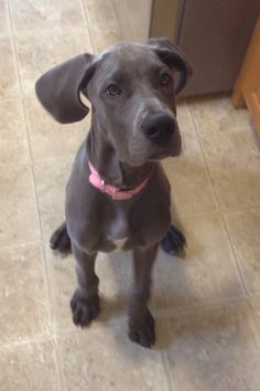 """Find out more information on """"great dane puppies"""". Browse through our website. Blue Great Dane Puppies, Great Dane Puppy, Dogs And Puppies, Doggies, Cheap Dog Food, Animals Beautiful, Cute Animals, Blue Great Danes, Animals"""