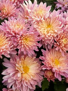 "Mum Jessica Louise  Large Flowered Garden Chrysanthemum  Type: Perennials,Mums  Height: Medium 24-36""  Spread: 16""  Bloom: Early Fall to Late Fall   Exposure: Full Sun   hardiness zones: 5-9  Soils: Normal   Color: Pink / Pink"