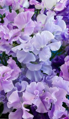 The Top 5 Romantic Flowers and Plants for Valentine's Day - Purple sweet pea flowers. SO fragrant, and ideal for the garden or as cut flowers in the home. Sweet Pea Flowers, Romantic Flowers, Exotic Flowers, Pretty Flowers, Cut Flowers, Spring Flowers, Flora Flowers, Beautiful Flowers Garden, Blooming Flowers