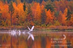 Autumn colors and a swan, Finnish Lapland. Landscape Photography, Nature Photography, Lapland Finland, Tourist Office, Weather And Climate, Autumn Scenery, Travel Activities, Filming Locations, Amazing Nature