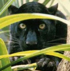 A Panther is a large, powerful, carnivorous mammal, belonging to the family Felidae -a wild cat. They appear similar to leopards, having an unmarked tawny body