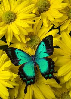 Diamond Painting Green Butterfly in Yellow Daisies Kit Butterfly Background, Butterfly Wallpaper, Butterfly Drawing, Butterfly Painting, Green Butterfly, Butterfly Wings, Butterfly Flowers, Most Beautiful Butterfly, Butterfly Pictures
