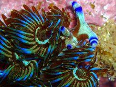 Blue Dragon - Pteraeolidia ianthina detail