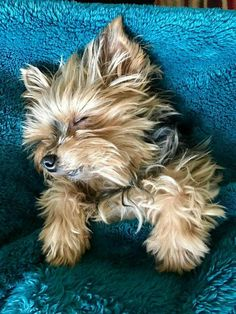 Yorkies, Havanese Dogs, Yorkie Puppy, Yorkshire Terrier, Kittens And Puppies, Cute Puppies, Cute Dogs, Pet Sitter, Baby Animals