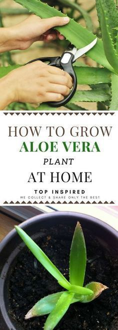 Advices On How To Grow Your Own Aloe Vera Plant