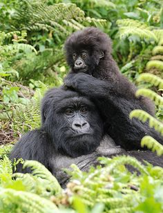 Mountain gorillas in Uganda and Rwanda - in pictures: Some of the last remaining mountain gorillas on the planet are found in Uganda, Rwanda and Congo. Encounter the amazing gorillas. Big discounts on November departures. Call +256 (0) 312-260-559 Or Email: info@pearlofafricatours.com with your questions and to book your trip today. Credit: Tim Henshall