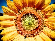 Russian Mammoth Sunflower Fine Art Photograph on Etsy, $15.00