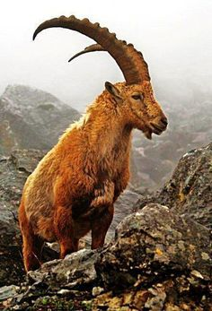 How much does a mountain goat weigh?
