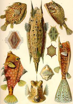 Ernst Haeckel - 'Formes Artistiques de la Nature' - Poissons Coffres