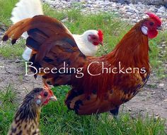 If you have been thinking about starting poultry of your own but don t know how to begin, then this article is written for you. You must have gone through several books and websites that will provide you detailed information regarding the same. If you read below, you will have a complete idea of breeding chickens in simple easy-to-follow steps.