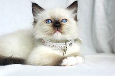 Ragdoll Kitten | Cattery Furocats | Germany | www.kittentekoop.nl