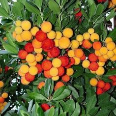 Árbol o arbusto muy rústico, característico del centro de España. Se utiliza como planta solitaria.o, madroño.
