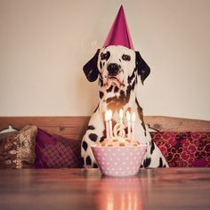berit turned six years old yesterday! she celebrated with cake of course! Little Puppies, Dogs And Puppies, Dalmatian Party, Animals And Pets, Cute Animals, Animal Antics, Therapy Dogs, Dogs Of The World, Animal Shelter