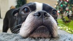boston-terrier-nose