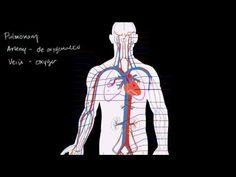 heart and circulatory system teaching vid