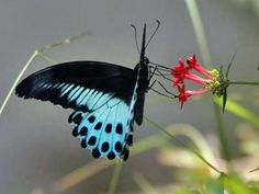 Blue-Mormon [Papilio polymnestor] - the second largest butterfly found in India, and the State butterfly of  Maharashtra, India - sipping the nectar.