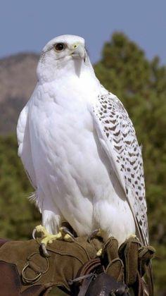 White hawk - Top Of The World Pretty Birds, Beautiful Birds, Animals Beautiful, Beautiful Pictures, Gorgeous Gorgeous, Eagle Pictures, Bird Pictures, All Birds, Birds Of Prey