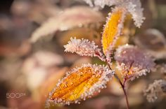 Hoarfrost - Leaves of a spirea were covered by hoarfrost