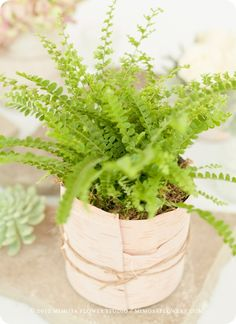 I love this idea, simple, do it yourself ahead of time. Send them home with guests! Get a shop to work with you or store to order for you at a great discount mini ferns and this would be very affordable. Or contact us and we will help you find some! Potted Plant Centerpieces, Fern Centerpiece, Birch Centerpieces, Wedding Table Centerpieces, Table Decorations, Fern Wedding, Wedding Wraps, Wedding Pins, Wedding Flowers