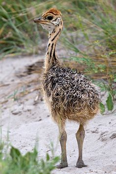 Ostrich Chick - They are so cute when they are little! Did you know they follow the first person or animal that they see and think its their mommy.
