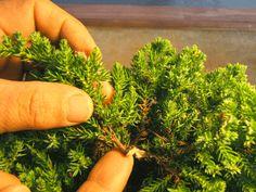 Juniperus procumbens 'Nana' -Japanese Garden Juniper Bonsai seedlings from juniper nana how to Bonsai Tree Types, Bonsai Tree Care, Indoor Bonsai Tree, Bonsai Art, Bonsai Plants, Bonsai Garden, Bonsai Trees, Indoor Plants, Indoor Gardening