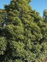 Pittosporum eugenioides - x in years. I guess could prune to stop it getting too tall. Native Plants, 10 Years
