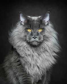 He and a bunch of other Maine coon beauties were photographed by Robert Sijka, a photographer who lives in Guangzhou City, China. | This Guy Takes The Most Epic Photos Of Maine Coon Cats You've Ever Seen