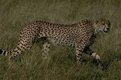 Stock Photo of side view prowling cheetah acinonyx jubatus serengeti plain