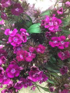 Cerise Sweet Williams...Sold in bunches of 10 stems from the Flowermonger the wholesale floral home delivery service.