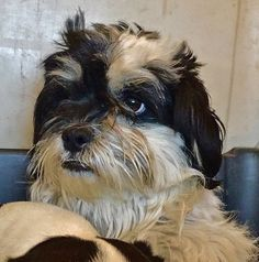 Cocker Spaniel dog for Adoption in Lancaster, CA. ADN-486378 on PuppyFinder.com Gender: Female. Age: Adult