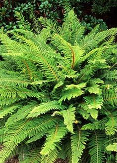 Alaska fern - Polystichum setiferum - Google Search