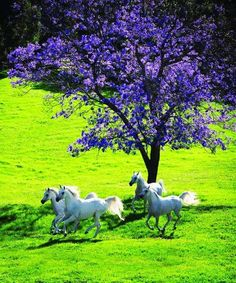 exquisite photo -white horses, purple tree branches!