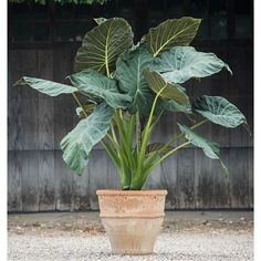 elephant ears and tropicals Transform your terrace or outdoor space into a tropical paradise with this statuesque, large-leaved foliage plant. Plante Alocasia, Alocasia Plant, Outdoor Plants, Garden Plants, Patio Tropical, White Flower Farm, Easy Care Plants, Marijuana Plants, Cannabis Growing