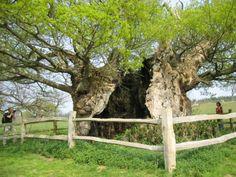 Cowdray Park, England. Queen Elizabeth tree.