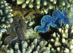 Tridacna gigas (giant clam) Photo by Christoph Specjalski