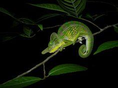 Male Labord's Chameleon (Furcifer labordi) - Kirindy Forest, Madagascar - Viajeros del Misterio