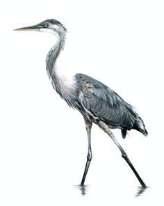 Blue Heron - Colored Pencil Drawing - Samantha Luotonen