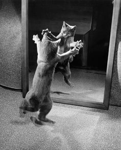 With Claws Bared, A Kitten Attacks Its Own Mirrored Reflection, 1964